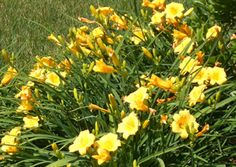 daylilies and other drought tolerant plants for beds... this is going to come in handy.