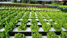 Hydroponics Farming Information guide | Agri Farming Hydroponic Farming, Hydroponic Vegetables, Hydroponics System, Aquaponics, Growing Plants, Growing Vegetables, Health And Nutrition, Health And Wellness, Garden Quotes