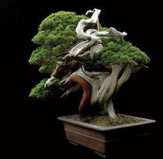 Masahiko Kimura Sargent's juniper (Juniperus chinensis, var Sargentii)