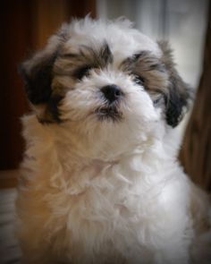 Lily the shichon puppy