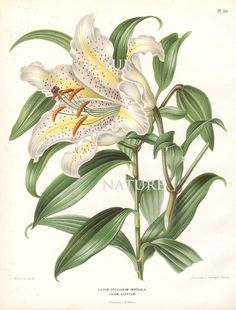 Beautiful print based on of antique botanical illustration from 1845 by A.J. Wendel. Wonderful details, colors and natural history feel. To see all matching prints by Wendel, please search my store for Wendel The print measures 8 x 10 inch. and printed on an 8.5 x 11 inch