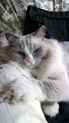 Blue High Mitted Bicolor Ragdoll Cat