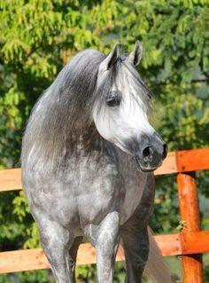 Arabian mare Shownel