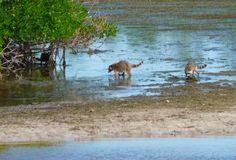 J.N. (Ding) Darling National Wildlife Refuge: Raccoons eating breakfast on the mud flats in Ding Darling