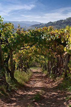 Vineyard in Douro valley, Portugal ~ UNESCO World Heritage Site
