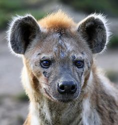 Spotted hyena by Klaus Wiese. The Spotted Hyena is experiencing declines outside of protected areas due to habitat loss and poaching. The species may have originated in Asia, and once ranged throughout Europe.