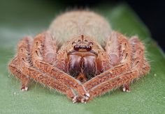 https://flic.kr/p/bUWRKZ | IMG_5448 stk copy | Beautiful huntsman spider. More tropical spiders here: orionmystery.blogspot.com/2012/01/tropical-spiders.html
