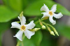 Trachelospermum asiaticum, via Flickr