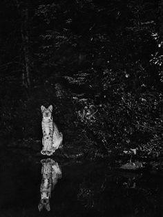 Lynx on the shore of Loon Lake, near Lake Wanapitei, Ontario, Canada, July 1902 | BY GEORGE SHIRAS