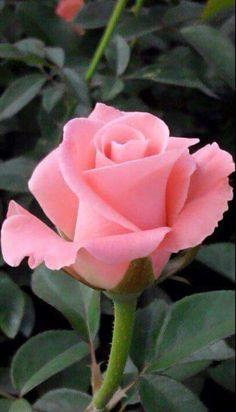 Captivating Why Rose Gardening Is So Addictive Ideas. Stupefying Why Rose Gardening Is So Addictive Ideas. Beautiful Rose Flowers, Exotic Flowers, Amazing Flowers, Pink Flowers, Beautiful Flowers, Orange Rosen, Tea Roses, Lavender Roses, Flower Pictures