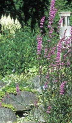 Kattenstaart is een gemakkelijk groeiende plant die ook goed tegen de schaduw kan .