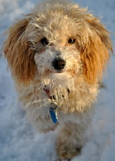 Toy Poodle in The Snow by Nate A, via 500px