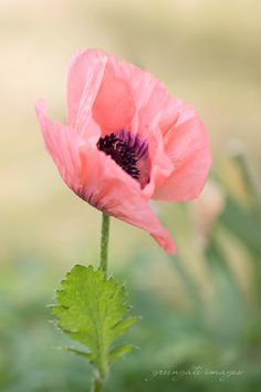 Peachy-coral poppy. Greengate Images greengateimages.etsy.com Salem, Oregon Photos are usually available for print even if you don't see it listed in the shop. Contact me for info. #poppies #poppy #flowers #wallart #botanical #peachpoppy #coral #homedecor