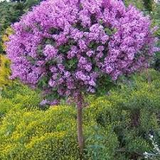 The Only Reblooming Lilac Tree! - If you love lilacs but have always wished for a longer blooming season, try the reblooming Bloomerang Lilac tree! Dwarf Korean Lilac Tree, Dwarf Lilac Tree, Japanese Lilac Tree, Dwarf Trees, Hydrangea Tree, Limelight Hydrangea, Hydrangea Not Blooming, Bloomerang Lilac, Lilac Varieties