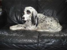 Phineas (COURTESY) is an adoptable English Setter Dog in Morris, NY.  *COURTESY POSTING* *Phineas IS LOCATED IN White Plains, NY* Phineas i s 7 year old pure bred English Setterwho is wonderful with...