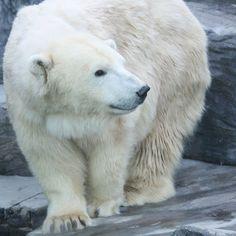 Prague Zoo, Tsekki [Prague Zoo, Czech Republic] Prague Zoo, Czech Republic, Zoos, Polar Bears, Aquariums, Euro, Animales, Tanked Aquariums, The Zoo