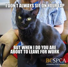 We're sure your work will understand if you are five minutes late due to cat snuggles! Willie is looking for a loving forever family at the BC SPCA Kamloops & District Branch