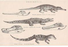 1900s Reptiles Crocodiles Nature Print 6 Images Illustrated Skulls Bodies |