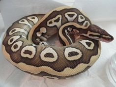 Desert Mojave Ball Python, Python Regius, 2 Gene Morph, reptile, scaled, brown, tan, straw yellow striped
