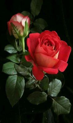 Rosa verm