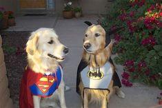 golden retriever noble loyal companions golden retriever pinterest dog animal and doggies