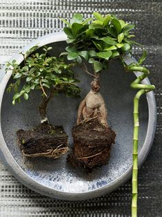 Asiatische Glücksbringer - Pflanzenfreude.de Indoor Trees, Indoor Plants, Lucky Bamboo, Lawn Ornaments, Landscaping With Rocks, Bonsai, Types Of Fashion Styles, Terrarium, Landscape Design