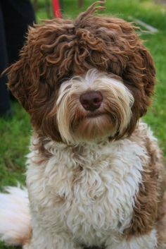 Australian Labradoodle from Dare to Dream Labradoodles!