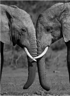 34 Ideas For Photography Black And White Animals Sweets animal animals background iphone wallpaper wallpaper iphone you didn't know existed planet animal drawings and white animal photography animals baby animals animals animals Photo Elephant, Elephant Love, Elephant Art, African Elephant, Elephant Black And White, Animals Black And White, Black And White Pictures, Black White, Elephant Photography