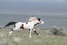South Steens Wild Horses B5866