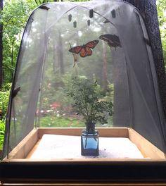 Butterfly rearing cages for raising caterpillars. Butterfly rearing cages for raising caterpillars. Butterfly Cage, Butterfly House, Monarch Butterfly Habitat, Butterfly Feeder, Butterfly Photos, Butterfly Wallpaper, Landscape Design, Garden Design, Monarch Caterpillar