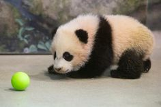 Bao Bao, the four and a half month old giant panda cub, at the Smithsonian's National Zoo in Washington