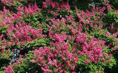 Desde LA MAGIA DEL PAISAJE nos muestran por qué la lagerstroemia debe ser una elección obligada: floración espectacular, follaje atractivo y vaporosa silueta perfecta para jardines de diseño y gran valor ornamental.