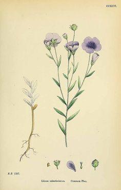 Linum usitatissimum L. (Flax, Linen) Sowerby (1864)