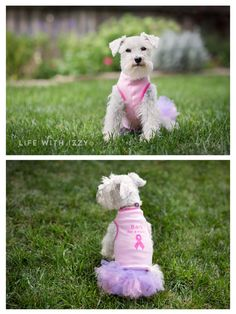 Izzy supports breast cancer awareness. Life with Izzy. Miniature Schnauzer dog.