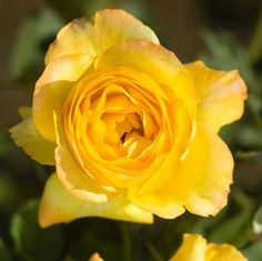Buy Jackson & Perkins' Summer Surprise Hybrid Tea Rose and enjoy their gorgeous bright yellow blossoms.