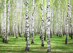 Muurstickers Bossen First spring greens in birch grove Birch Tree Mural, Tree Wall Murals, Birch Trees, Digital Foto, Murals Your Way, Forest Pictures, Tree Forest, Forest Mural, Birch Forest