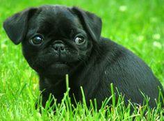 PUG color negro... raros pero hermosos!!