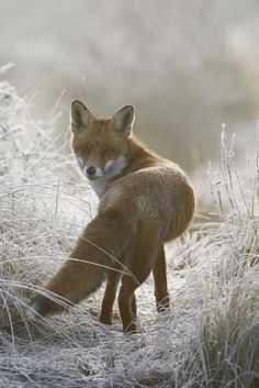 A fox always makes me think of The Little Prince