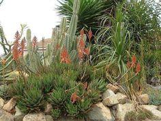 Photo of Gold-Tooth Aloe (Aloe nobilis)
