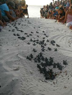 Caretta baby turtles entering the waters on their own... One of the many attractions that a Zakynthos holiday can offer