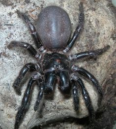 The Sydney funnel-web spider (Atrax robustus) is a species of Australian funnel-web spider.