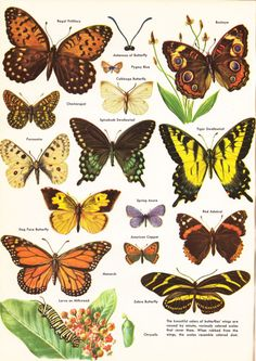 Sweet butterfly image from a vintage encyclopedia.