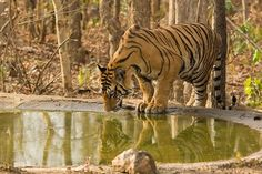 Interestingly, a tiger from Tadoba-Andhari Tiger Reserve (TATR) in Chandrapur traversed over to reach Navegaon-Nagzira Tiger Reserve (NNTR) in Bhandara Wildlife Safari, Corridor, Roads, Highlights, January, Bright, Adventure, Amazing, Travel