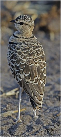 The Double-banded Courser (Rhinoptilus africanus), also known as the Two-banded is a species of bird in the Glareolidae family. The Double-Banded Courser is found in Ethiopia, Somalia, South Africa, Tanzania. Kinds Of Birds, All Birds, Love Birds, Birds Of Prey, Pretty Birds, Beautiful Birds, Animals Beautiful, Cute Animals, Exotic Birds