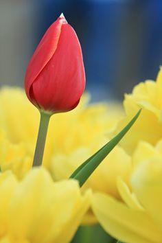 Tulips...