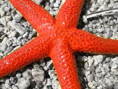 Starfish in Samothrace.