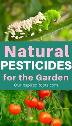 These natural pesticide recipes are easy to make at home. They are safe and effective for vegetables, herbs and anything you eat! Keep your garden in balance with natural DIY insecticide and pesticide. Garlic pepper spray for the garden. Natural Insecticide, Natural Pesticides, Pesticides For Plants, Organic Gardening, Gardening Tips, Gardening Courses, Container Gardening, Beginners Gardening, Gardening Books