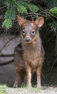 Visitors to Zoo Berlin can enjoy the spring weather, while watching the Southern Pudu fawns roam their exhibit with the rest of their group. The fawns, a male and female, were born in the early spring and are still sporting their spotted coats. Pudus are the world's smallest deer! Check out ZooBorns to learn more and see more! http://www.zooborns.com/zooborns/2015/05/pud%C3%BA-fawns-enjoy-spring-at-zoo-berlin.html