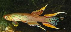 Killifish - can these be found in SG