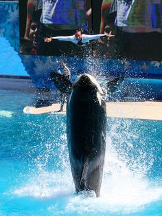 I believe I can fly. SeaWorld San Diego trainer, Matt and Corky the killer whale